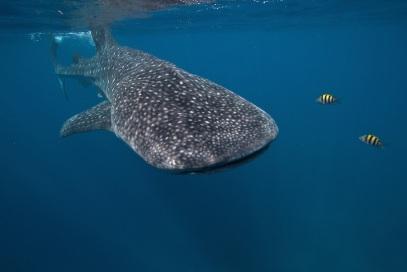 A-whale-shark-in-the-waters-of-Oslob-Cebu